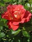 Rose – Regentropfen 4