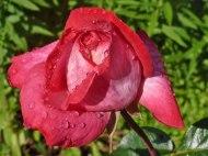 Rose – Regentropfen 5