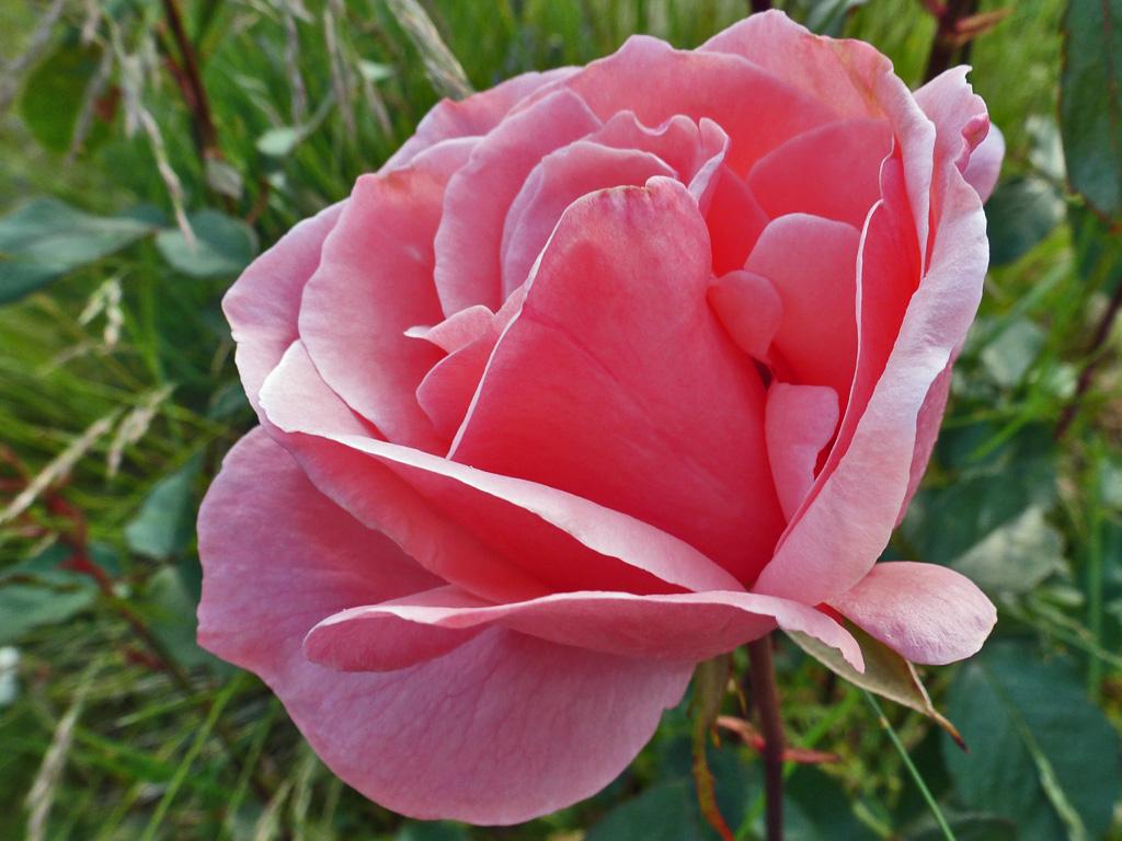 Rosenblten  Blumen  Gedichte  Maerchen