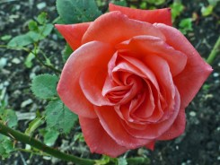 Rosenblüte 11