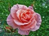 Rosenblüte 4