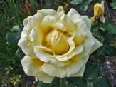 Rosenblüte 5