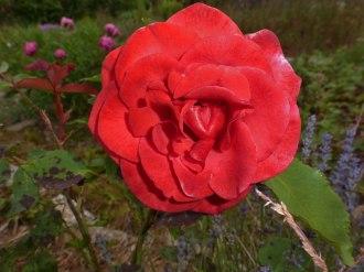 2014_06_22_Rose_17