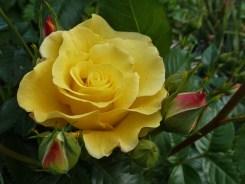 2014_06_26_Rose_7