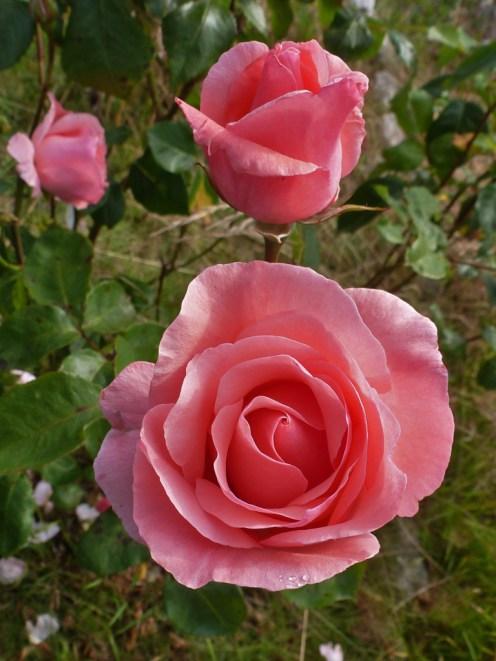 2014_07_26_Rose_rosa-5