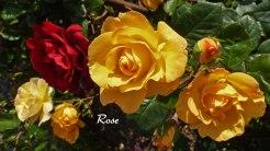 2014_07_17_Rose_2