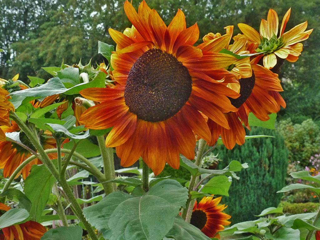 Sonnenblumen  Blumen  Gedichte  Maerchen