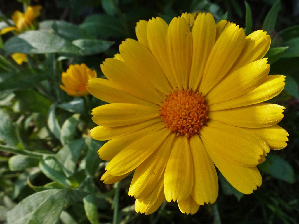 Astern  Blumen  Gedichte  Maerchen
