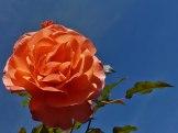 2014_09_28_Rose_3