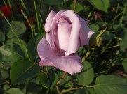 2015_07_05_Rose_9