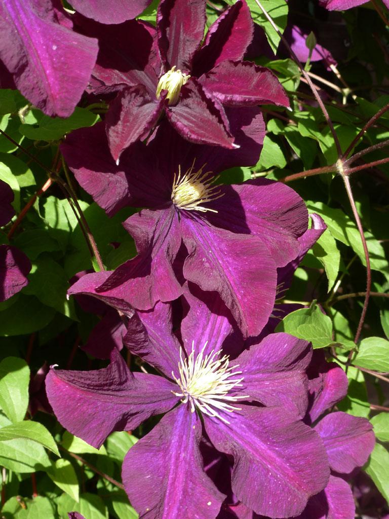Clematis  Blumen  Gedichte  Maerchen