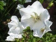 Weisse Glockenblumen 2