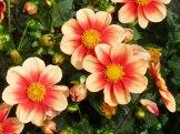 Dahlienblüten 2
