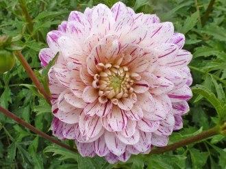 Dahlienblüten 8