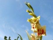 Gladiole 7