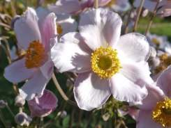 Herbst – Anemone 8