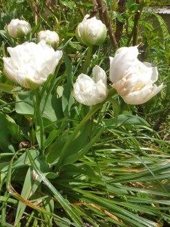 Gefuellte, weisse Tulpen 3