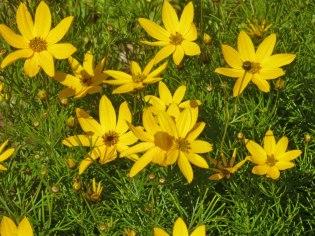 Maedchenauge – Coreopsis verticillata 10