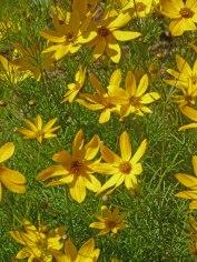 Maedchenauge – Coreopsis verticillata 11