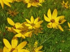 Maedchenauge – Coreopsis verticillata 5