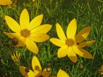 Maedchenauge – Coreopsis verticillata 7