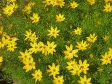 Maedchenauge – Coreopsis verticillata 9
