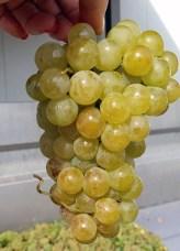 Sarba druif