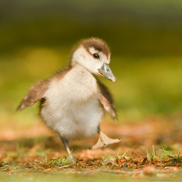 Cute Animal Babies Duck