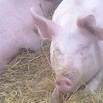 Dinner Pigs