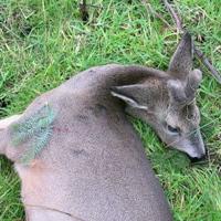 Guest roe deer stalk