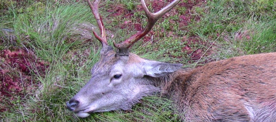 First stag of the season 2011