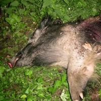 Wild boar stalking Poland