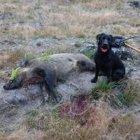 Początek rykowiska i dziki z psem