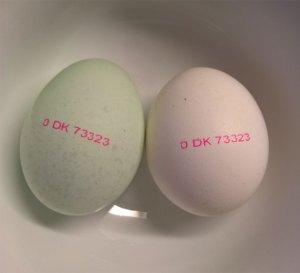 Grønlægger æg til venstre, normalt æg til højre