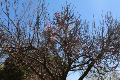 BLOOMING: After a long and cold winter flowers at Wits university are now begining to make their presence felt, blooming on otherwise dry and dull tree branches. The bright pink and the freshness of the flowers are an affirmation of the beauty the summer will bring. Photo: Rofhiwa Madzena