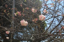 PERKY: After a long and cold winter flowers are now begining to make their presence felt, blooming on otherwise dry and dull tree branches. The bright pink and the freshness of the flowers are an affirmation of the beauty the summer will bring. Photo: Rofhiwa Madzena