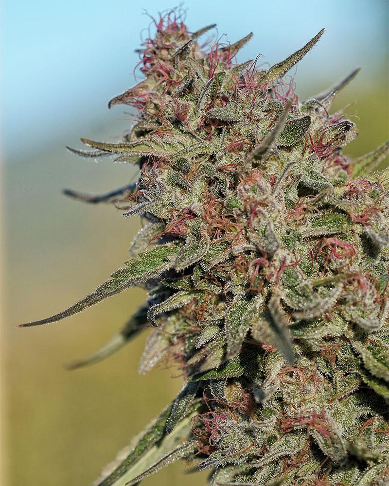 Roganja Southern Oregon Cannabis Pomegranate Punch