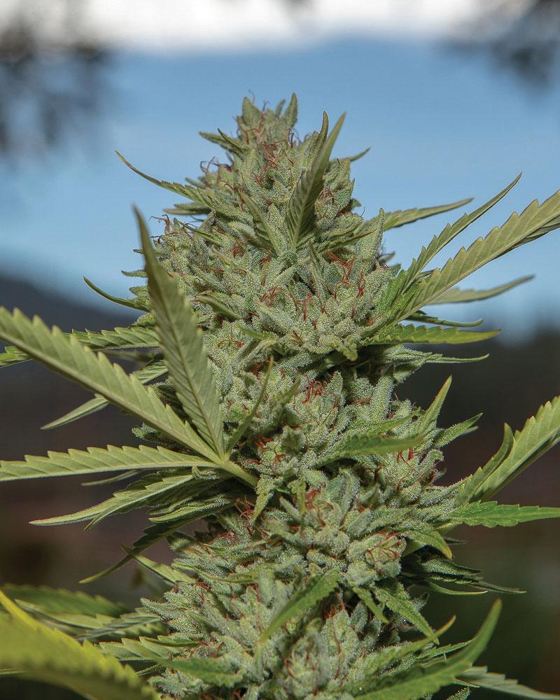 Roganja Southern Oregon Cannabis Yuki Dog F2