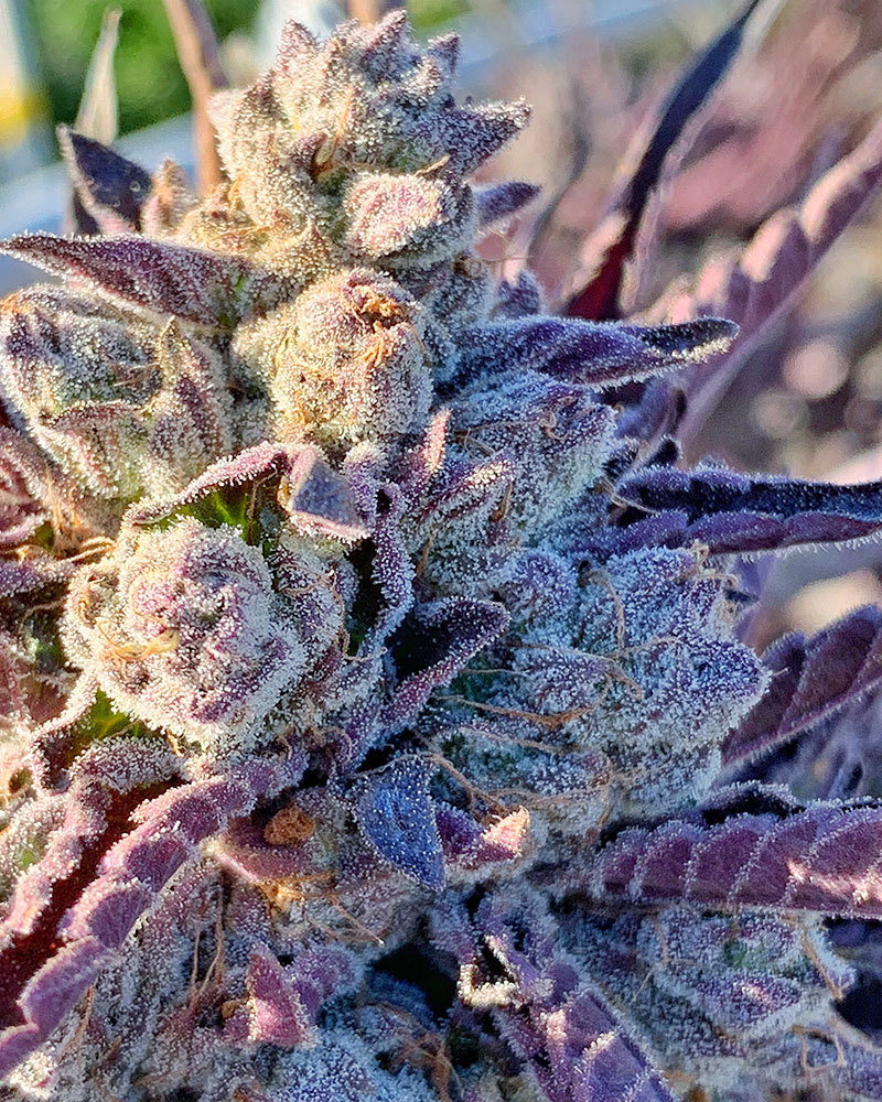 Roganja Southern Oregon Cannabis Massive Punch