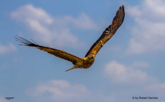 Wedge Tailed Eagle