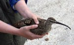 whimbrel migration