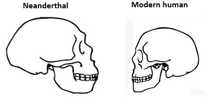 Neanderthal skull versus modern human skull