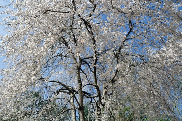 Weeping cherry, Williamsburg VA (April 4, 2015)