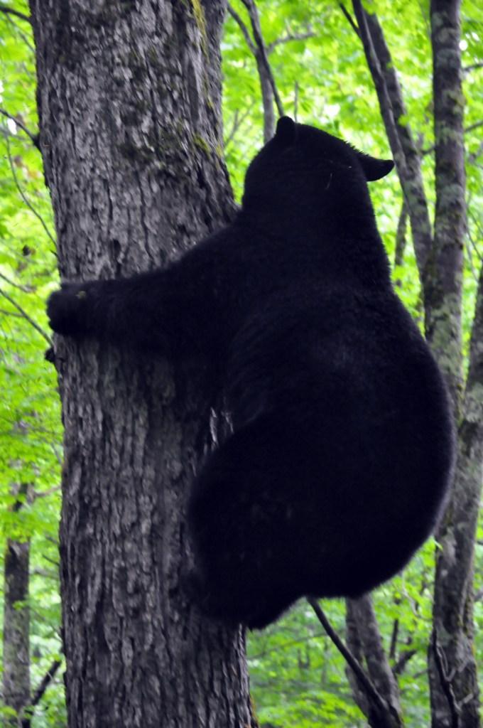 Black bear descending maple tree