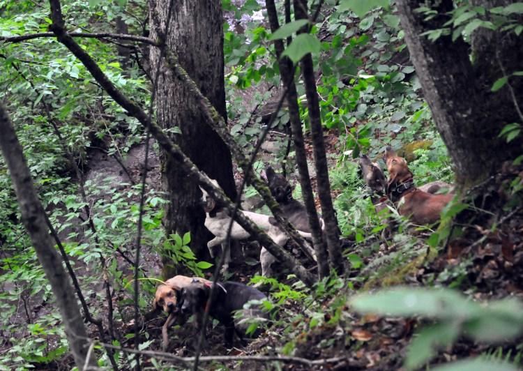 Bear hunting hounds