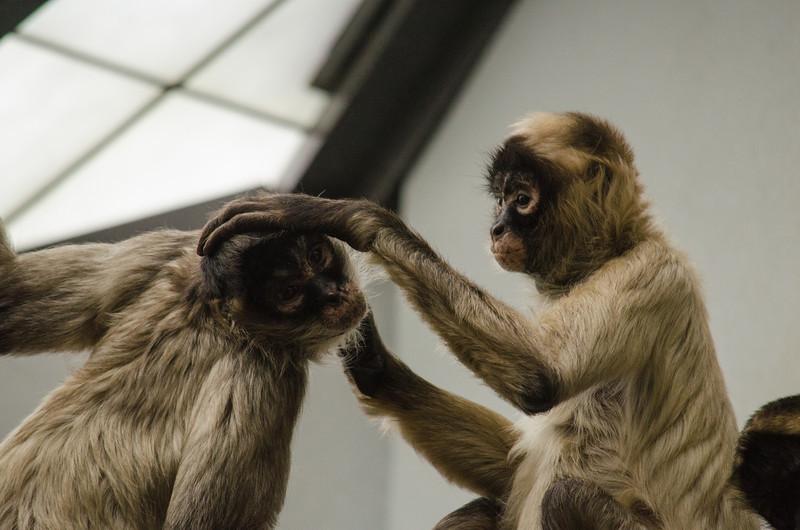 Monkeys Grooming