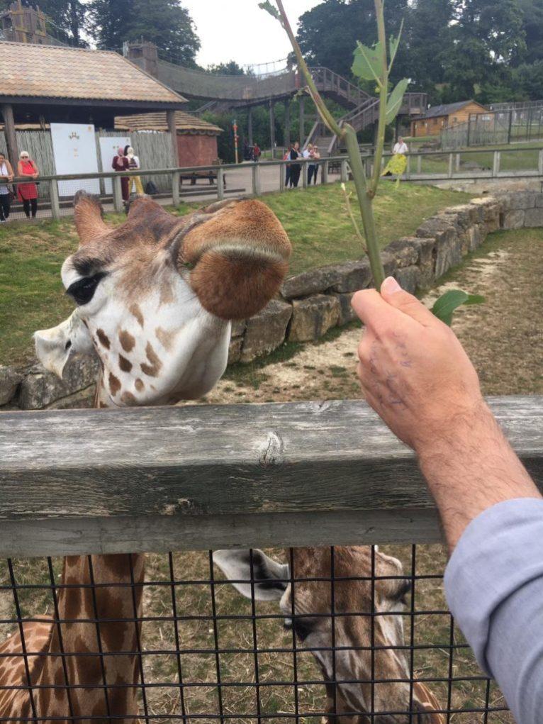 Feeding a giraffe at Longleat