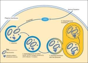 Autophagy rids cells of junk.