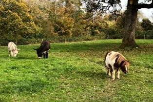 Ponies on the grounds at Ballyseede Castle.