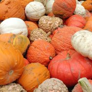 pick your own pumpkins at Strom's Farm Pumpkin Patch in Guelph